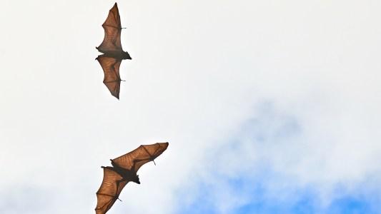 bat-borne viruses