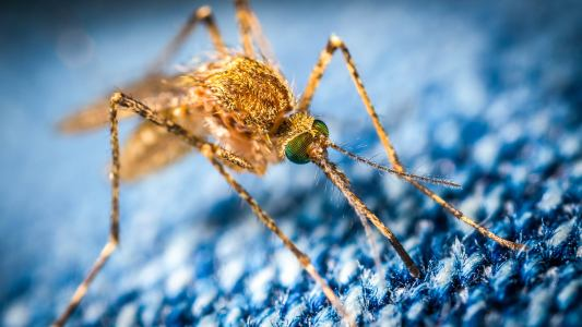 gene drive mosquito