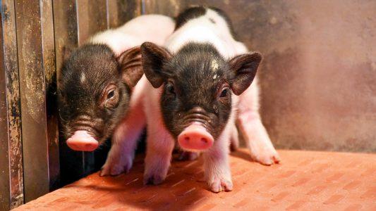 gene-edited pigs