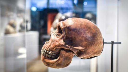 neanderthal mini brains