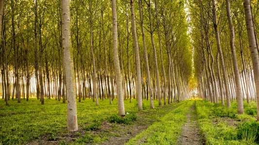 genetically modified poplar trees