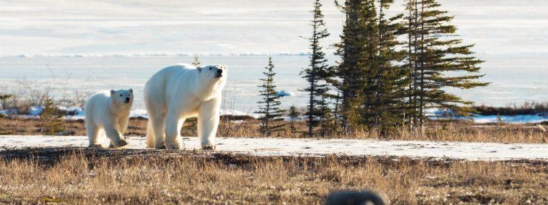 polar bear tracker