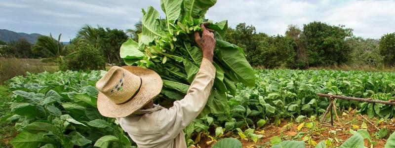 tobacco plant vaccine for flu