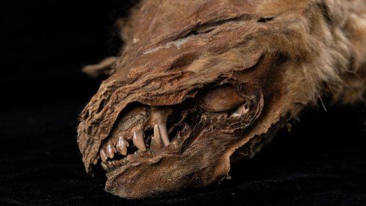 wolf mummy