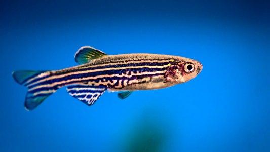 zebrafish  Infertility Treatments