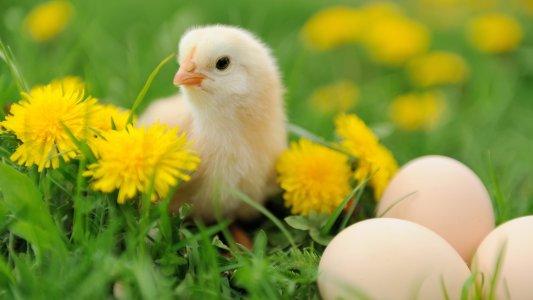 crispr chick culling