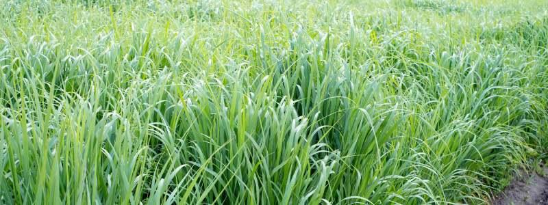 Genetically Modified Grass