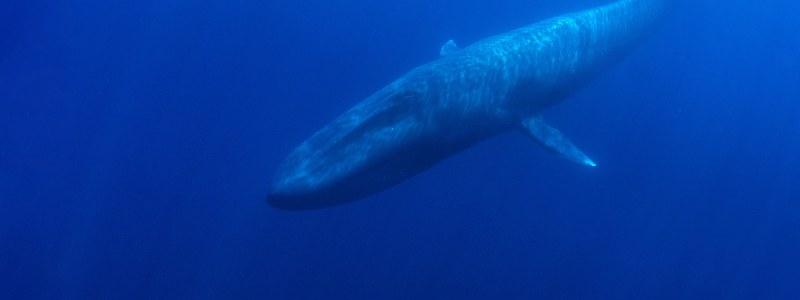 pygmy blue whales