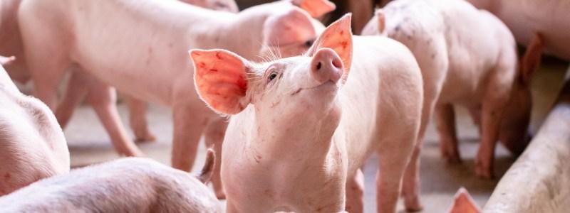 disease-resistant pigs