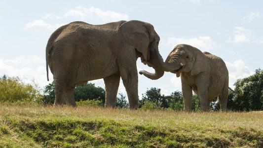 elephant rewilding