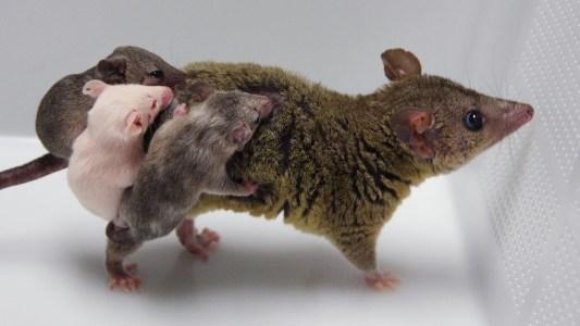 gene-edited opossums