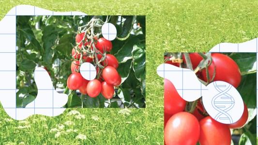 gene-edited tomato